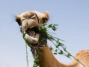 The way you eat is so entertaining, Mr. Camel.